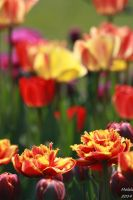 Tulips - Gold Dust by MDDahl