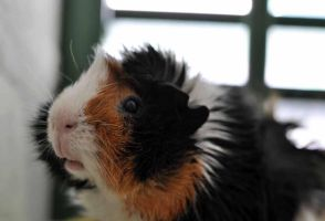 Lucky the guinea pig by PiaVersense