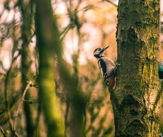 Good afternoon mr woodpecker by bexa