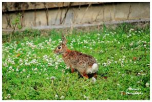 A Rabbit In My Yard by TheMan268