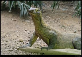 Comodo dragon by Lunchi