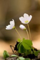 Oxalis acetosella by Kaasik91