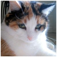 Calico Kitty 3 by Variety-Stock