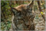 Luchs by greenfeed