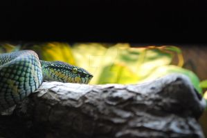 Wagler's Viper by ManitouWolf