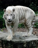 the white tiger by micadelic