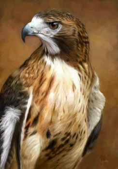 Red-Tailed Hawk by oomu