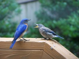 Father and Baby Bluebird by watercolos