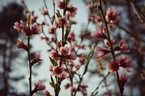 Blossoms by Locks22