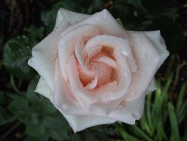 Rainy day rose by JeannetteHenriette
