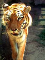 The Mighty Tiger by RitaJanine