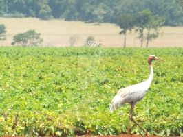 1 Crane on Potatoes by tablelander