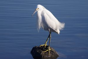 Wise Beard The Egret by ChristopherPayne