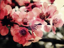 Japanese Quince by MagpieMagic