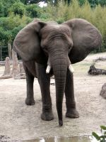 African Elephant by Passion-For-Pictures