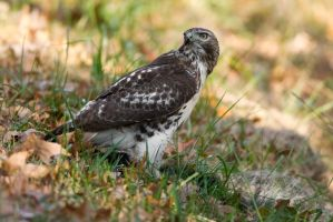 Red Tail Hawk 1 by bovey-photo