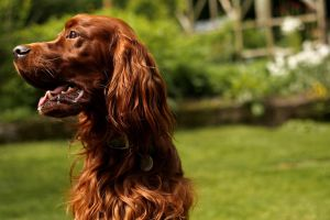 Irish Setter by LittleLimePhotos