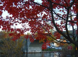 under flaming maple by crazygardener