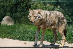 European Wolf 119 by Canisography