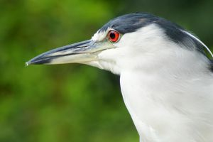 Black Crowned Night Heron by Fail-Avenger
