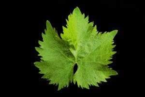 Vine Leaf by stevekrh19