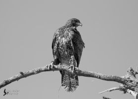 Harris Hawk 9 by EdgedFeather