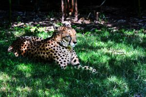 A nap in the shade (Cheetah) by ShineeDragon
