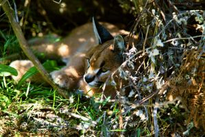 Caracal by WhiteBook