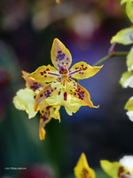 Yellow orchid flying by Mogrianne