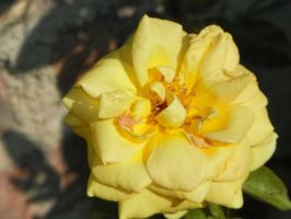 Rosal Amarillo by MileyPink26