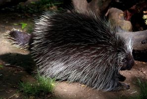 Porcupine Stock 1: North American by HOTNStock