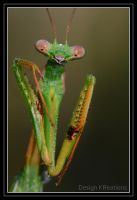 Praying Mantis by DesignKReations