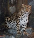 Denver Zoo 49 Leopard by Falln-Stock