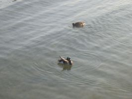 Wade In The Water, Ducks by descendingbackwards