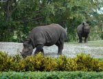 The Rhinos by Wisdomsson