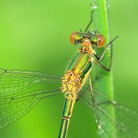 green damselfly by indojo