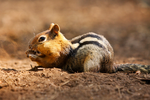 Chipmunk by N-Fphotography