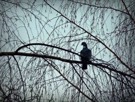 wild pigeon at sunrise by April-Mo