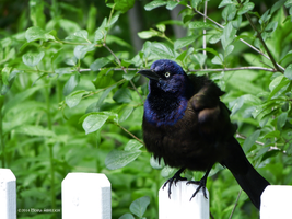 Grackle ruffling on a white fence by Mogrianne