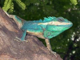 Blue-agama-600 by Art-of-Eric-Wayne