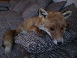 Red Fox Soft Mount SOLD by DeerfishTaxidermy