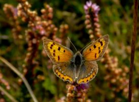 Veur Anske, the Small Copper by Stilleschrei
