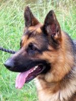 German Shepherd by moviegirl78