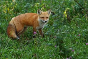 Lady Fox by Sagittor