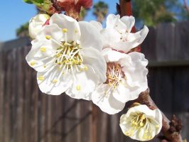 Apricot Blossoms 2008-03 by MikeHungerford