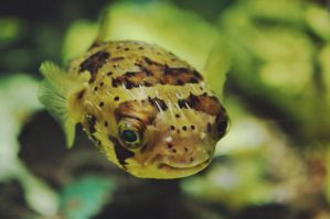 Puffer by bbisme