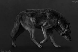 Black wolf 2 by makangeni