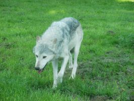 Timber Wolf by 1shewolf1