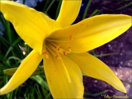 Yellow Hemerocallis by Heymilie