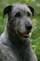 Angus the Irish wolfhound by BlastOButter